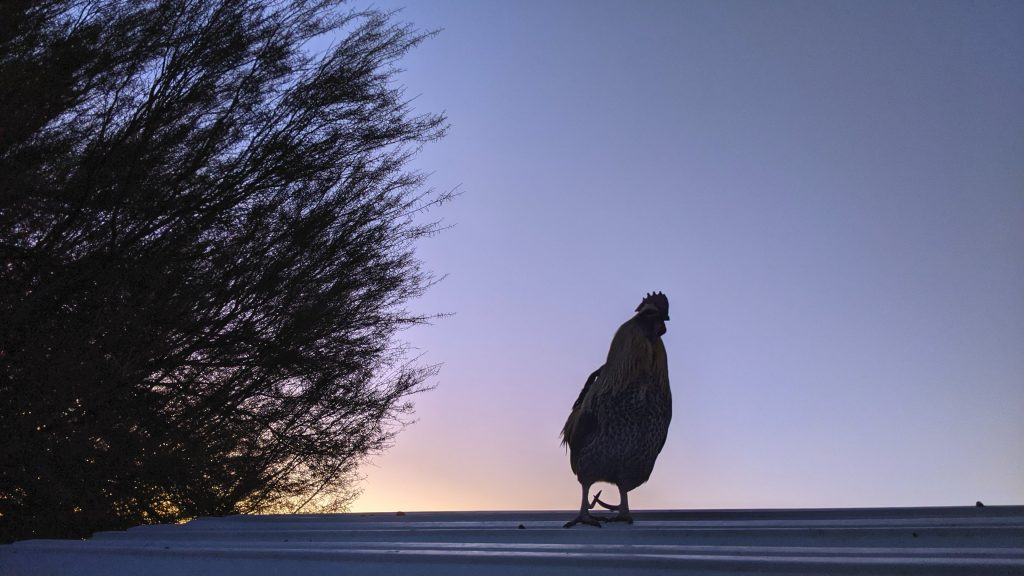 Gregor on the coop roof, as usual